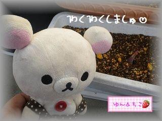 ちこちゃんの観察日記2012★4★チューリップの観察その2-4