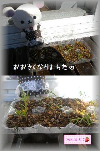 ちこちゃんの観察日記2012★5★謎の野菜その2-2