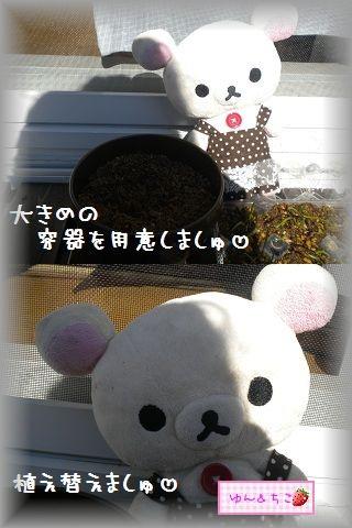 ちこちゃんの観察日記2012★5★謎の野菜その2-3
