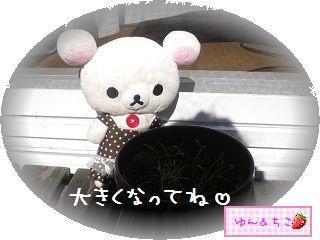 ちこちゃんの観察日記2012★5★謎の野菜その2-5