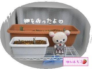ちこちゃんの観察日記2012★6★チューリップの観察その3-2