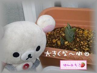 ちこちゃんの観察日記2012★6★チューリップの観察その3-5