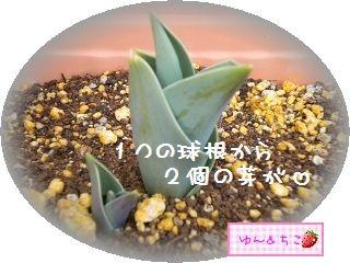ちこちゃんの観察日記2012★6★チューリップの観察その3-4