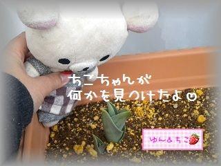 ちこちゃんの観察日記2012★6★チューリップの観察その3-3
