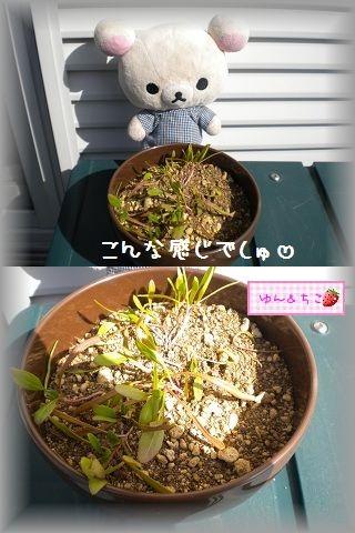 ちこちゃんの観察日記2012★7★謎の野菜★3★-2
