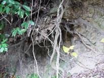 木の根っこ1