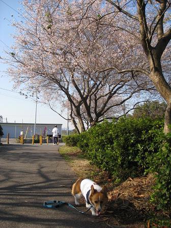 四季桜11.7