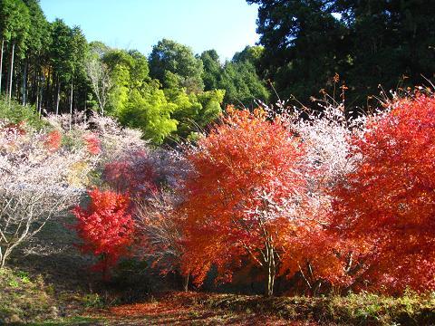 紅葉と四季桜11.26