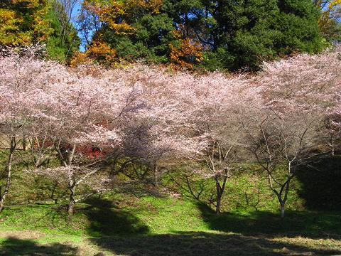 市場城址の四季桜11.26
