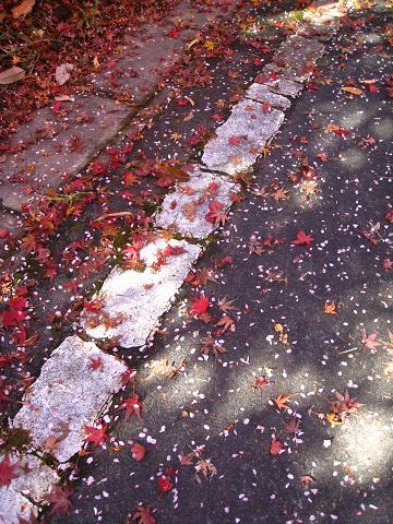 落ち葉と桜の花びら11.26