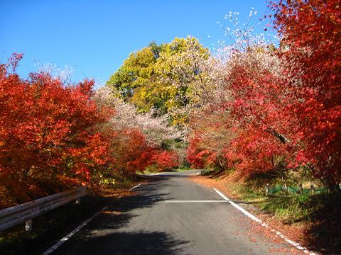 紅葉とさくらのトンネル11.26
