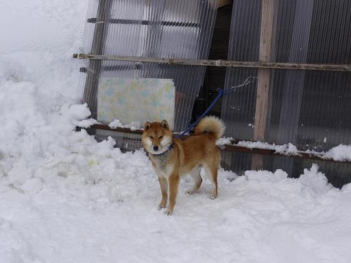 世界遺産に住む犬①