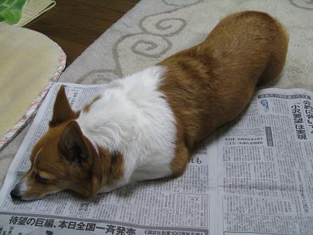 新聞の上で寝る