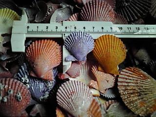 ヒオウギ貝の貝殻