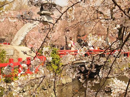 大社の桜 3