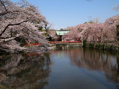 大社の桜 4