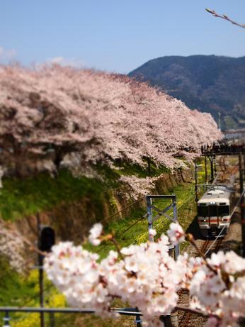 桜の向こうから電車が・・・ 2