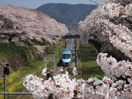 桜の向こうからあさぎりが・・・