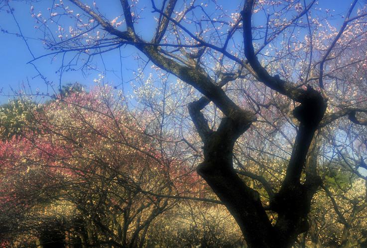 京都御苑梅林02