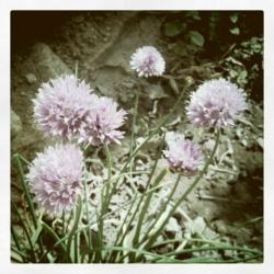wild negi flower