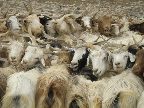 羊ミルクしぼり