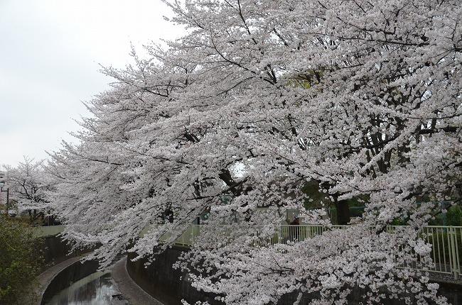 2013年花見_20130325_160927