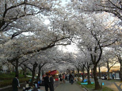 2012大川沿い桜-1
