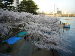 2012大川沿い桜-3