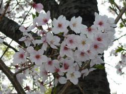 2012大川沿い桜-4