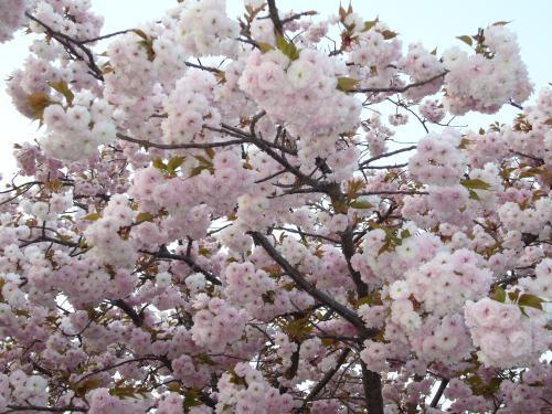 造幣局桜-1