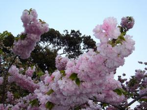 造幣局桜-2