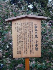 造幣局桜-3