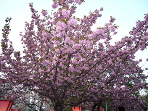 造幣局桜-4