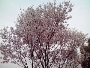 ちょっと奥まったところにあった桜