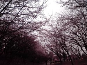 桜の通り道