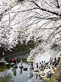 弘明寺の桜1