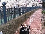 弘明寺の桜2