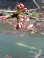 桜3月27日3