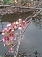 桜3月28日1