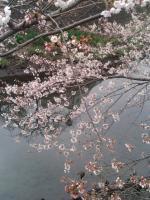 桜4月1日2