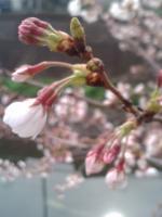 桜4月1日3