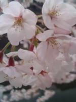 桜0404-2