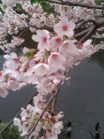 桜4月5日1