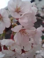 桜4月5日2