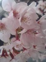 桜4月7日2