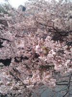 桜4月7日4