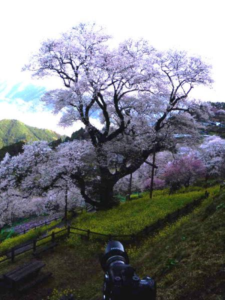 ひょうたん桜08