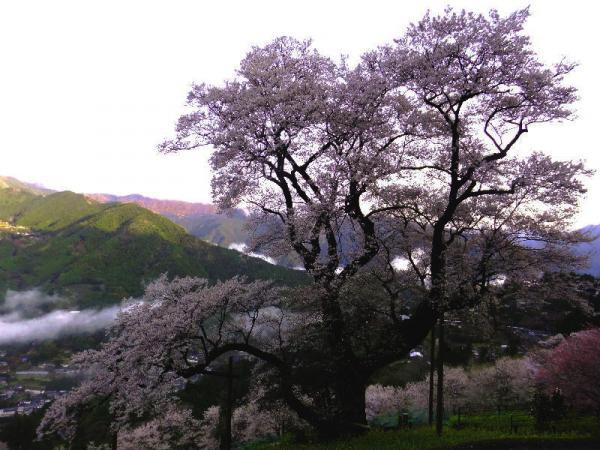 ひょうたん桜02