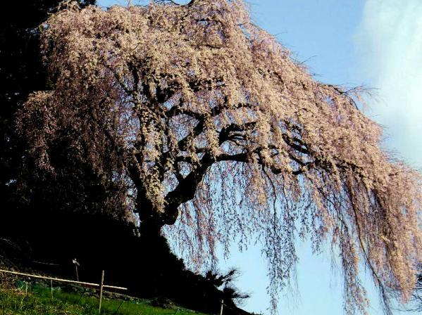 中越家枝垂れ桜