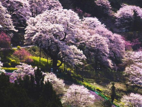 ひょうたん桜12